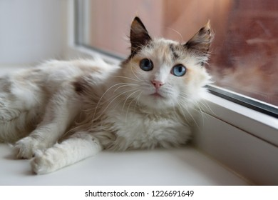 Beautiful tortoiseshell fluffy cat with blue eyes lying near to a window.