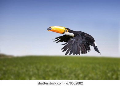 Beautiful toucan flying with the sky in background