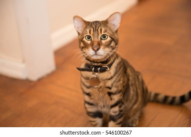 beautiful toyger cat - face of wild hybrid tiger cub - orange with stripes sitting interior living room
