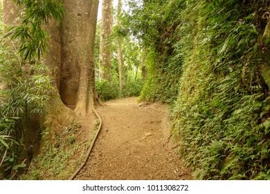 beautiful trail path in the jungle at manoa falls oahu hawaii