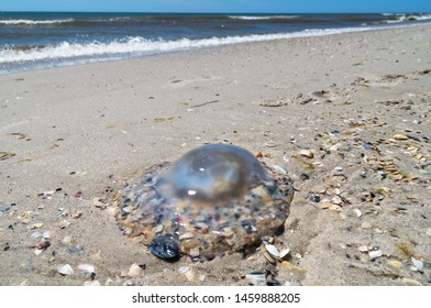 Beautiful transparent jellyfish with seashells lying on the sandy beach on the background of blue sea and sky. Sea waves threw medusa on the coast and it perishes, drying out in the sun.