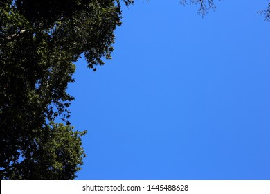 Beautiful tree branches and leaves in the island of Madeira, Portugal. This is very simple photo with clear blue sky and trees photographed from below. Photographed during a sunny spring day.