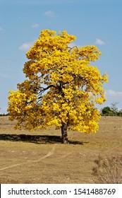 beautiful tree of the Brazilian flora totally flowered -Ipê