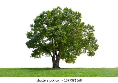 Beautiful tree in the garden isolated on white background. Suitable for use in architectural design or Decoration work.