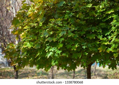 beautiful tree with green leaves. background