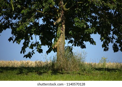 Beautiful tree with green leaves in the summer with grass a corn field and a blue sky
