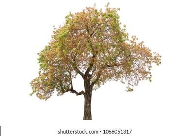 Beautiful tree isolated on white background.It is Siamese sal.Other name is Burma sal and Thitya.Image suitable for decor on website,artwork,wallpaper and print screen.
