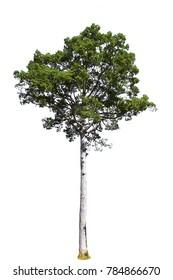 Beautiful tree isolated on white background