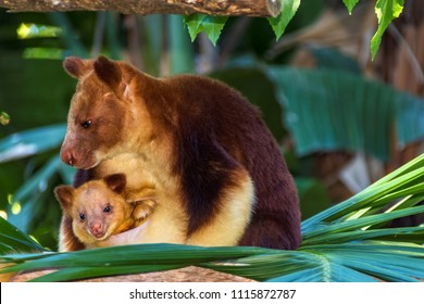Beautiful Tree Kangaroo with her baby in the pouch .