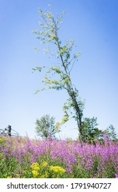 A beautiful tree in the middle of a calamity clearing after a bark beetle calamity, purple flowers and forest restoration