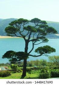 beautiful tree at Salcombe beach in devon