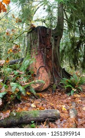 Beautiful Tree Stump in Washington State