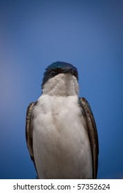 A beautiful Tree Swallow, Tachycineta bicolor, is bathing in the sun by a clear and warm day of May. Quebec, Canada.