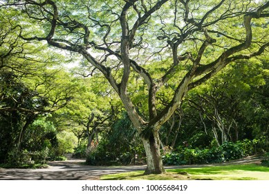 beautiful tree in Waimea Falls Park (Haleiwa) on Oahu Island, Hawaii, US