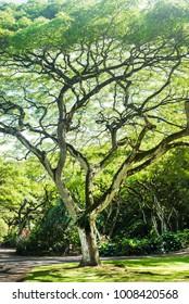 beautiful tree in Waimea Falls Park (Haleiwa) on Oahu Island, Hawaii, US
