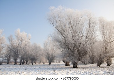 Beautiful trees covered with hoarfrost on a winter day. Blue sky.