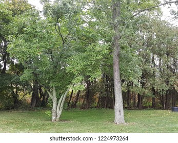 Beautiful trees at the edge of the grassy lawn of a backyard.