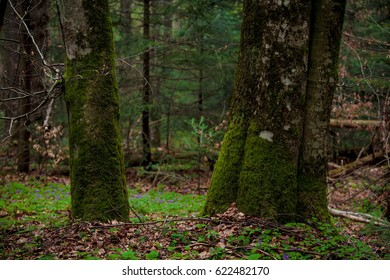 Beautiful trees in the forest Trees covered with moss