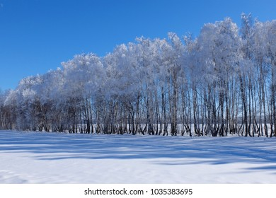 Beautiful trees in a frosty morning. A lot of snow.