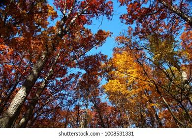 Beautiful Trees in Full Autumn Color; Dexter, MI
