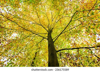 beautiful treetop of an autumn beech tree