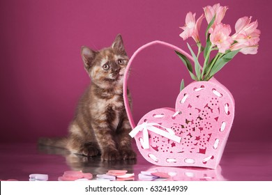 Beautiful tricolor cat on a pink background, cat of the British breed