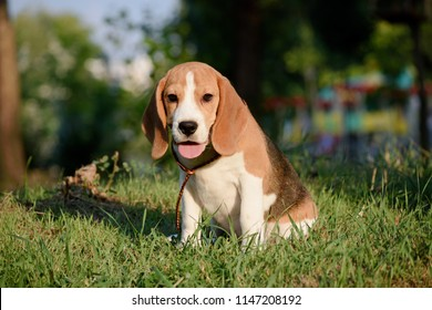 Beautiful Tricolor Puppy Of English Beagle seating On Green Grass. Beagle Is A Breed Of Small Hound, Similar In Appearance To The Much Larger Foxhound.