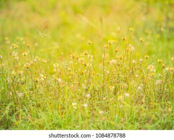 beautiful Tridax procumbens flower in nature garden