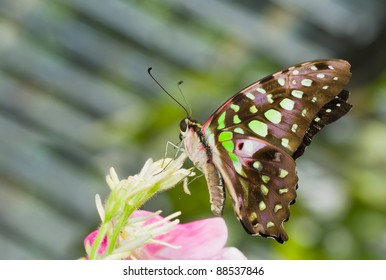 Beautiful tropical butterfly rests on a pink flower.