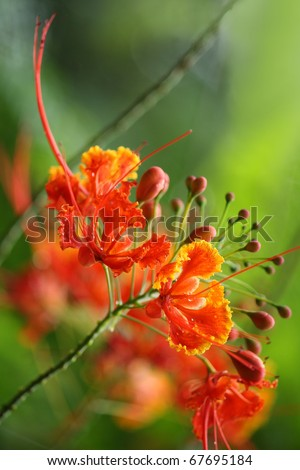 Beautiful tropical flame tree flowers