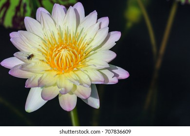 Beautiful tropical flower, waterlily from Thailand