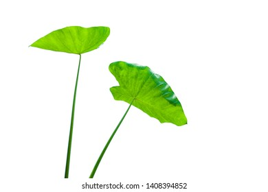 Beautiful tropical green colocasia esculenta leaf isolated on white background with clipping path for design elements, summer background