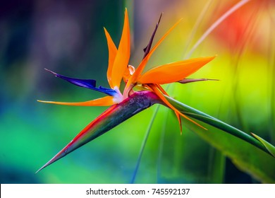 Beautiful tropical heliconia parrot flower with blurry background in all colors of the rainbow