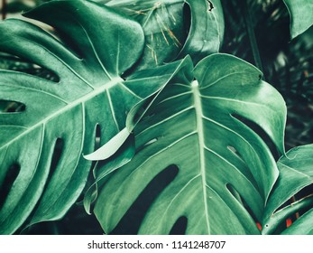 Beautiful of tropical leaves