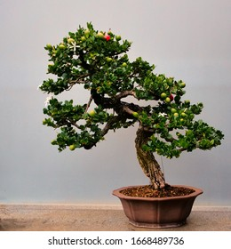 Pine Bonsai Tree Hd Stock Images Shutterstock