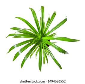 Beautiful tropical plant Pandanus tree, Palm Pandan a potted plant isolated over white, top view