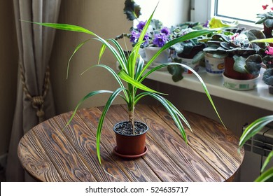 Beautiful tropical plant Pandanus tree Pandanus Palm selective focus close up Pandan leaves in flowerpot on wooden background Urban gardening home planting houseplant Concept image for interior design