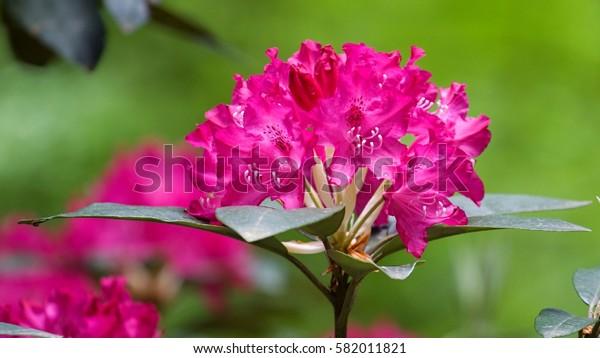 Beautiful tropical rhododendron flowers. Nice blooming plants in botanical garden. Various petal colors  of laurel