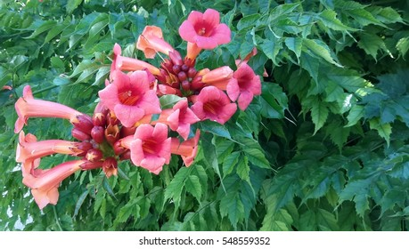 Beautiful trumpet-shaped flowers (Campsis radicans), also known as cow itch vine or hummingbird vine