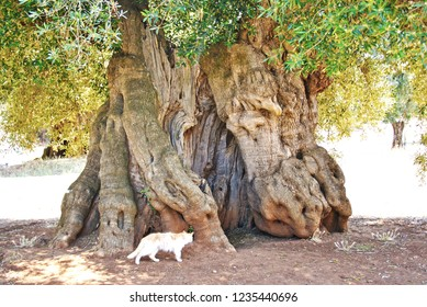 Beautiful trunk of very old secular olive tree, Puglia, Italy
