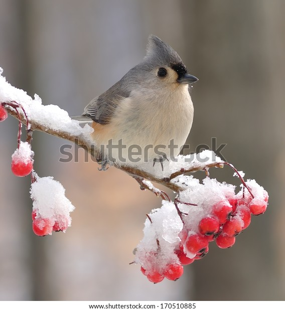 A beautiful Tufted Titmouse (Baeolophus bicolor) on a snowy hawthorn branch full of bright red berries.
