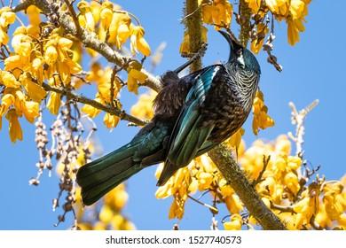 A beautiful tui bird drinking nectar from kowhai flowers.