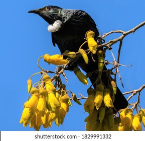 A beautiful tui bird on top of a flowering kowhai tree.