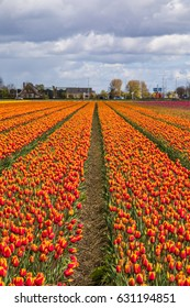 Beautiful tulip fields in Lisse in the Netherlands. This fields are near the Keukenhof and the best season for tulips are April and May.