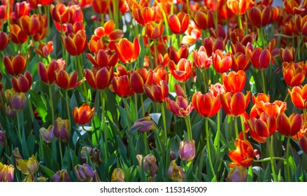 beautiful of tulip flower at garden