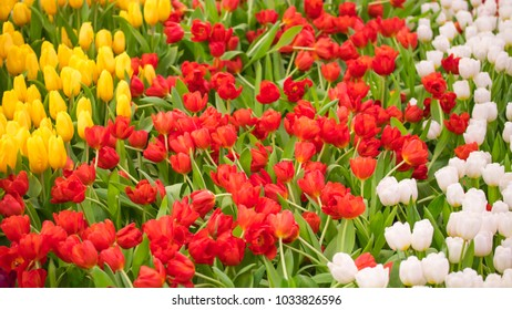 Beautiful tulip flowers blooming and green leaf background in the garden, colorful tulips in springtime. Natural flowers background, selective focus.