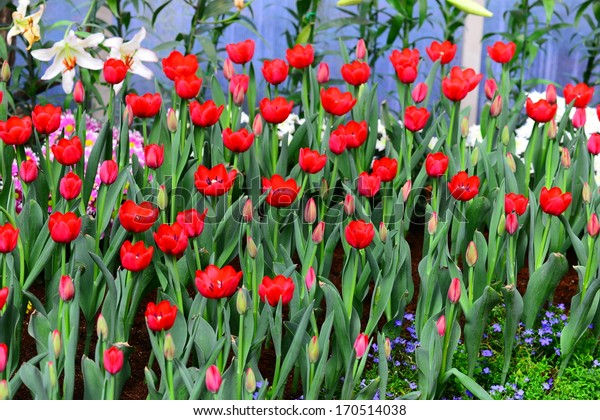 beautiful tulip flowers in the garden
