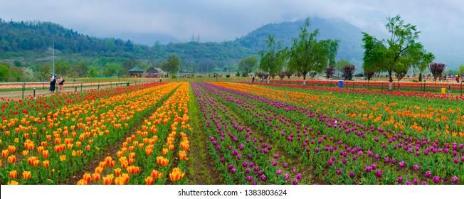 Beautiful tulip flowers is a veritable Eden in Indira Gandhi Memorial Tulip Garden Srinagar is Asia's largest such garden at Srinagar, Jammu and Kashmir, India