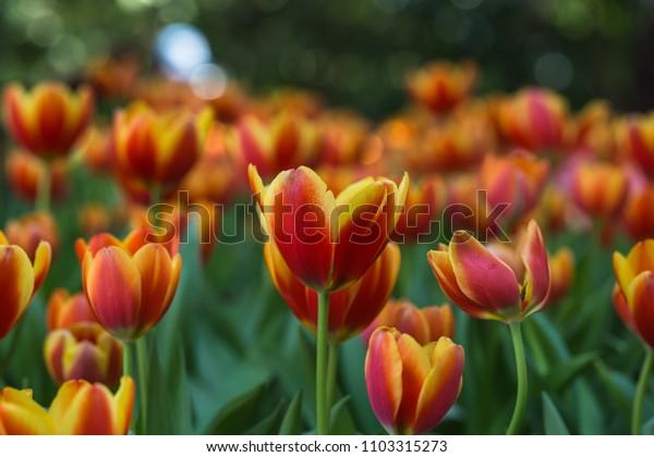 beautiful tulip at garden ,flower background
