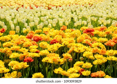 Beautiful tulip mix flower bed blooming under spring sunlight.